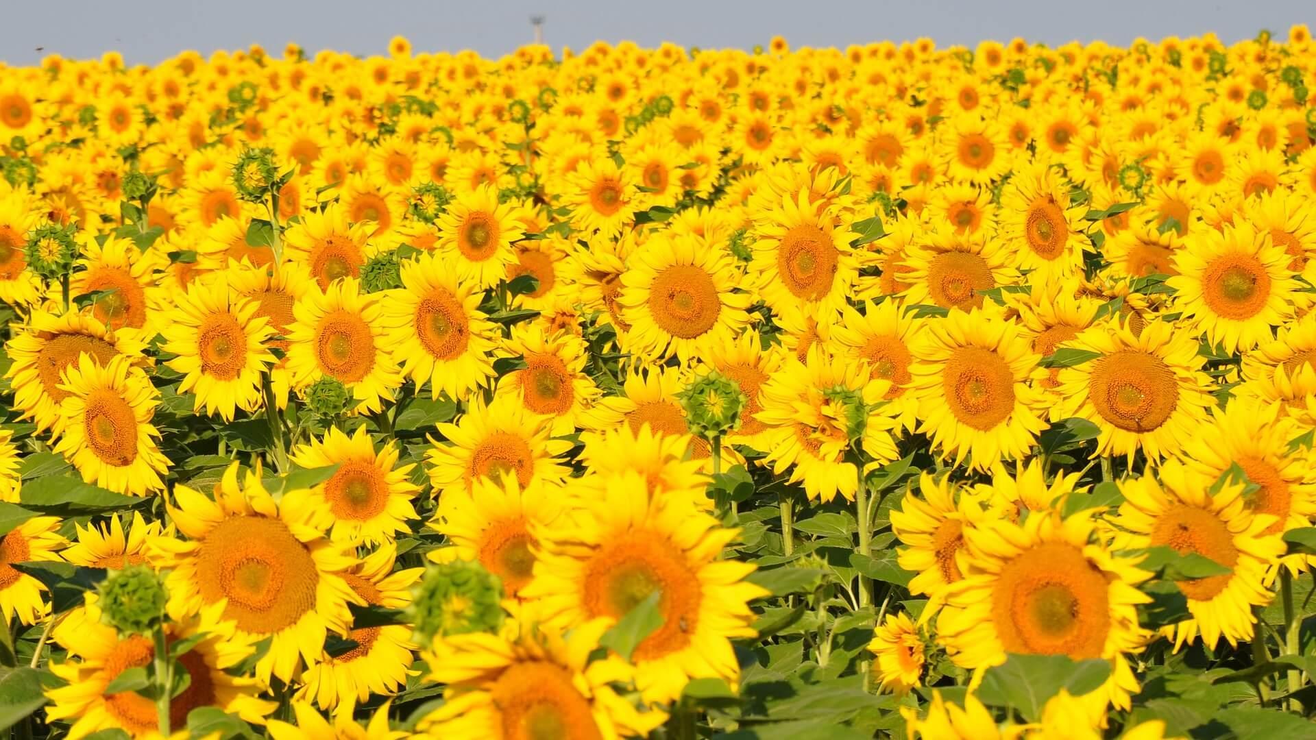 sunflower-843419_1920